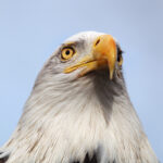 Eagle Fest returns in 2012